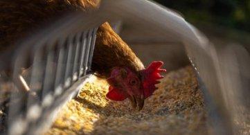 Wysoce zjadliwa grypa ptaków w gminie Wohyń